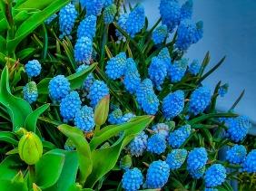 011017grape-hyacinth