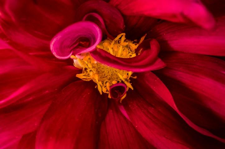 012117american-beauty-dahlia