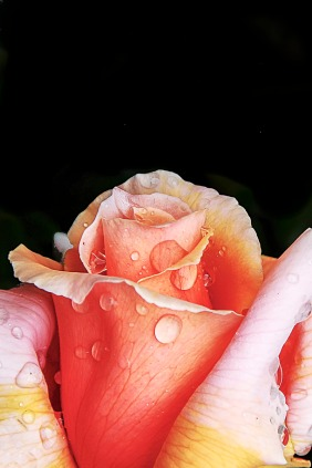 022217raindrops-and-roses