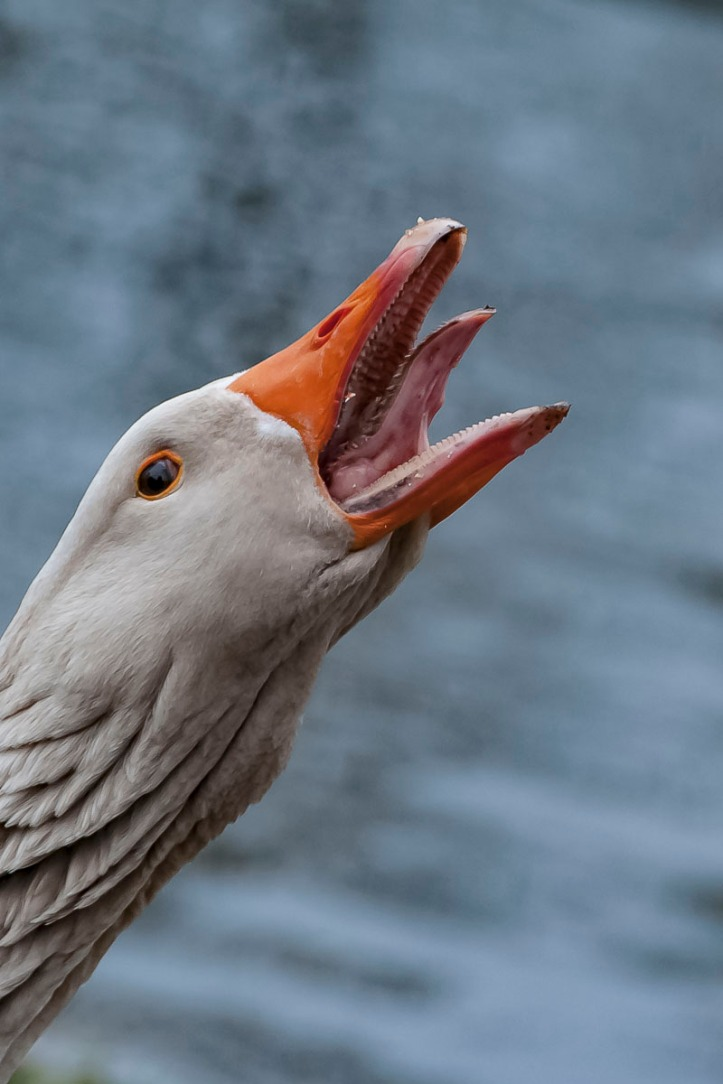 Goose.