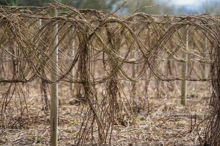 030417grape-vines